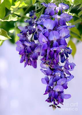 Photograph - Hanging Purple Passion by Sabrina L Ryan