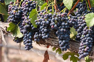Photograph - Hanging Wine Grapes by Dina Calvarese