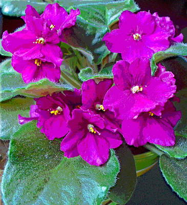 Happy African Violet Art Print by Padre Art