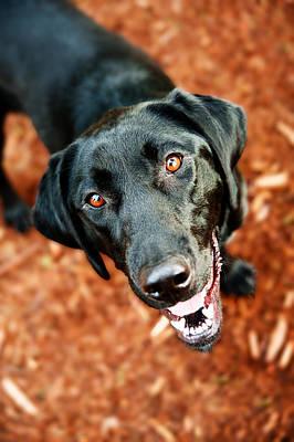 Happy Black Labrador Dog Outside Art Print by Anna Hoychuk