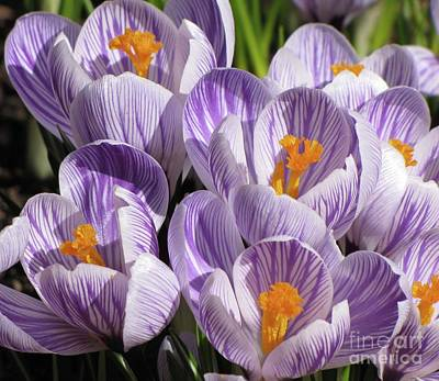 Photograph - Happy Crocus by Michele Penner