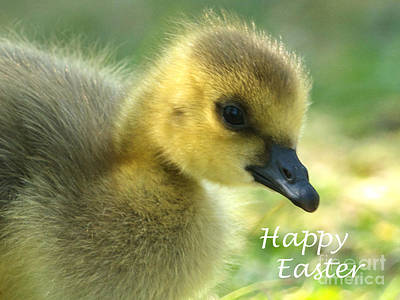 Photograph - Happy Easter Gosling by Sharon Talson