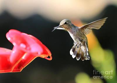 Photograph - Happy Hummingbird by Carol Groenen