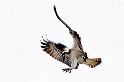 Osprey Digital Art - Happy Landings by Don Mann