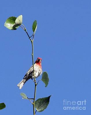 Photograph - Happy Little Finch  by Phyllis Kaltenbach