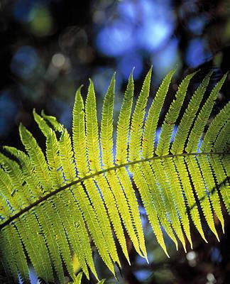 Cibotium Photograph - Hapu'u Fern by G. Brad Lewis