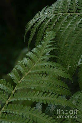 Photograph - Hapuu Pulu Hawaiian Tree Fern - Cibotium Splendens by Sharon Mau