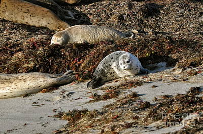 Photograph - Harbor Seal by Johanne Peale