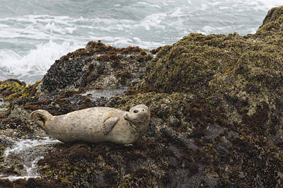Point Lobos State Photograph - Harbor Seal  Point Lobos State Reserve by Sebastian Kennerknecht