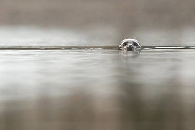 Prince Rupert Photograph - Harbour Seal by Brandon Broderick