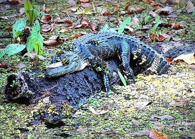 Alligator Photograph - Hard Day In The Swamp - Digital Art by Carol Groenen