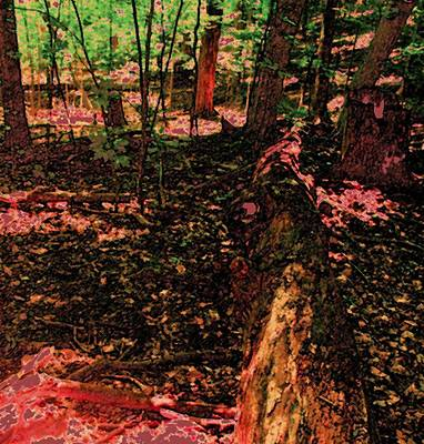 Photograph - Hardwood Forest by Ian  MacDonald
