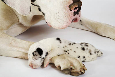 Harlequin Great Dane Puppy Sleeping On Mother's Paw, Studio Shot Art Print by Martin Harvey