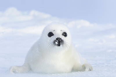 Canadian Wildlife Photograph - Harp Seal (pagophilus Groenlandicus) Very Young Pup, Magdalen Islands, Québec, Canada by Werner Bollmann