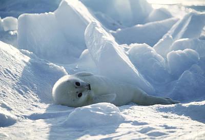 Harp Seal Pup Art Print by Doug Allan