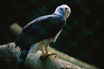 Harpy Eagle Photograph - Harpy Eagle Harpia Harpyja by Joel Sartore