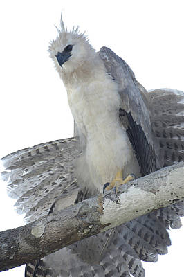 Harpy Eagle Photograph - Harpy Eagle Harpia Harpyja Recently by Pete Oxford