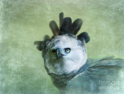 Harpy Eagle Photograph - Harpy Eagle Portrait by Betty LaRue