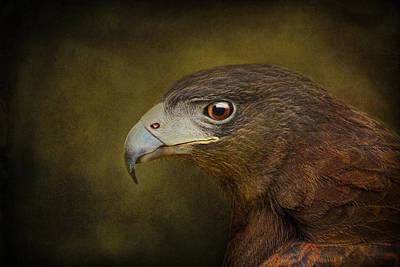 Harris Hawk Profile Art Print