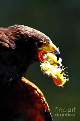 Bird Digital Art - Harris Hawk With A Mouthfull by Pravine Chester