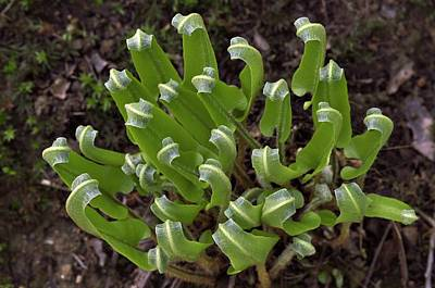 Hart's Tongue Fern Unfurling Art Print by Colin Varndell