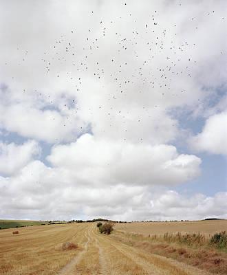 Flock Of Bird Photograph - Harvested Field by Michael Marten