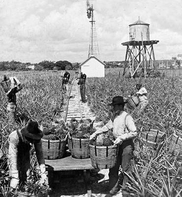 Harvesting Indian River Pineapples - C 1906 - Florida Art Print by International  Images