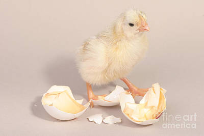 Photograph - Hatching Chicken 20 Of 22 by Ted Kinsman