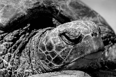Photograph - Hawaiian Basking Turtle by Elizabeth  Doran