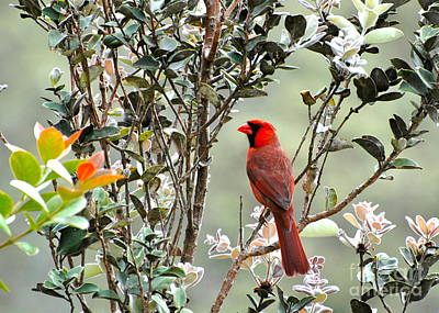 Photograph - Hawaiian Cardinal  by Johanne Peale