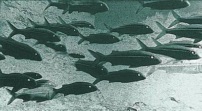 Photograph - Hawaiian Goatfish School by Bill Owen