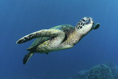 Hawaiian Green Sea Turtle Art Print by Photo by Barry Fackler