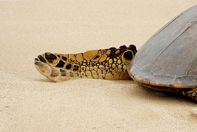 Hawaiian Green Turtle Rear Tail Fin Art Print