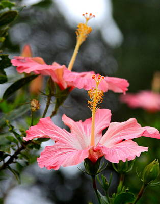 Photograph - Hawaiian Pink Hibiscus by Karon Melillo DeVega