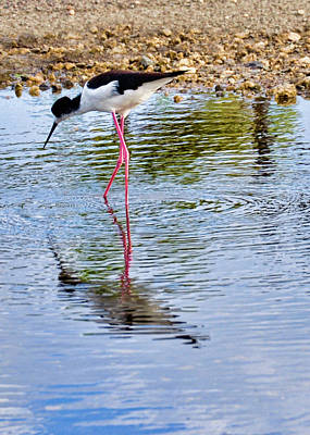 Photograph - Hawaiian Stilt - Ae'o by Dan McManus