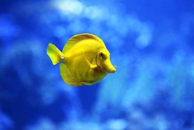 Hawaii Photograph - Hawaiian Yellow Tang Fish by Marilyn Hunt