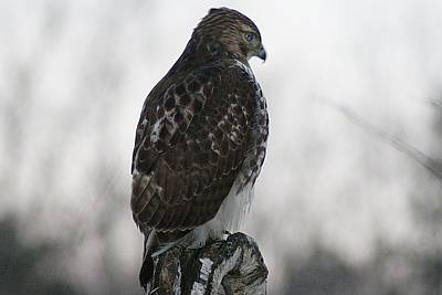 Photograph - Hawk 1 by Joe Faherty