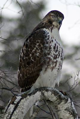 Photograph - Hawk 2 by Joe Faherty