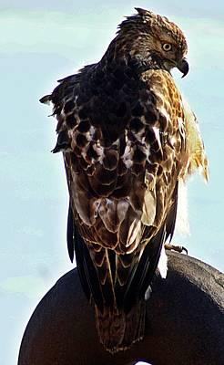 Photograph - Hawk 3 by Joe Faherty