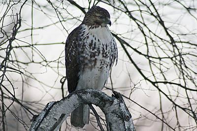 Photograph - Hawk 5 by Joe Faherty