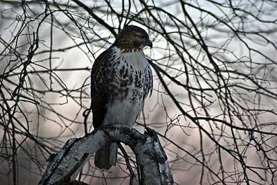 Photograph - Hawk 6 by Joe Faherty