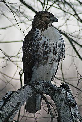 Photograph - Hawk 7 by Joe Faherty