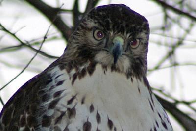 Photograph - Hawk 8 by Joe Faherty