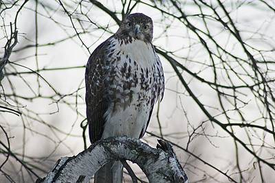 Photograph - Hawk 9 by Joe Faherty