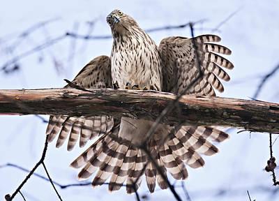 Hawk Antics Original by Bonnie Barry