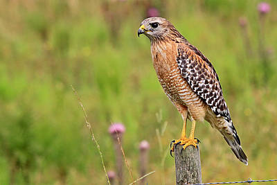 Photograph - Hawk At The Cow Pasture by Ira Runyan