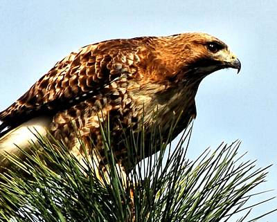 Red Tail Hawk Digital Art - Hawk Close-up by Don Mann
