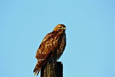 Photograph - Hawk Eye by Diana Hatcher