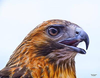 Hawk Head Print by Peg Runyan