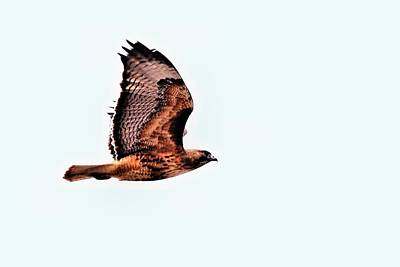 Red Tail Hawk Digital Art - Hawk In Flight - 1 by Don Mann